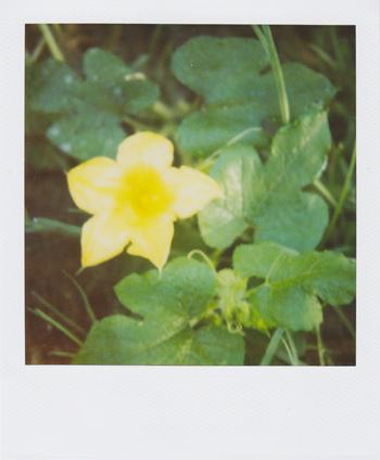 squash blossom!